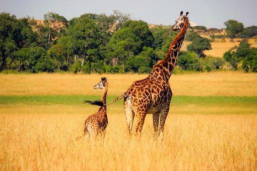 Giraffe, Animals, Wildlife, Africa, Baby, Mother, Cute