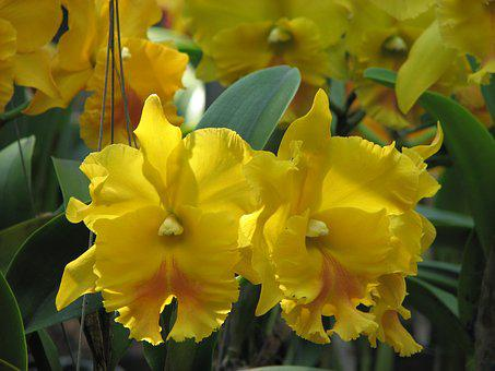 Orchid, Flowers, Yellow, Flowered Cattleya
