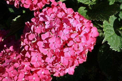 Hydrangea, A Flower Garden, A Garden Plant