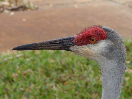 Sand Hill Crane, Close Up, Bird, Florida