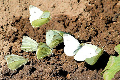 Butterfly, Butterflies, Cabbage White Linge, Insect