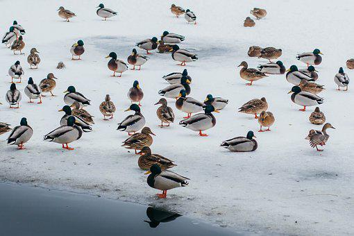 Duck, Ice, Lake, Wintering, Water, Birds, Cold