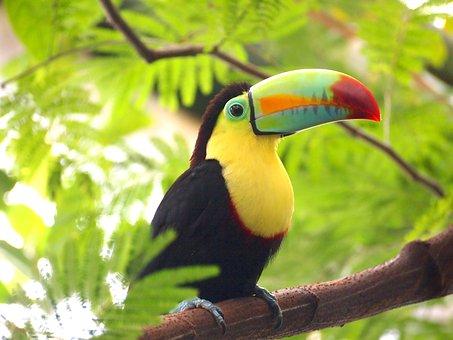 Toucan, Bird, Nature, Animal, Colorful, Exotic