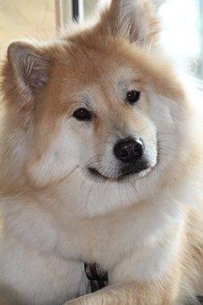 Dog, Eurasians, Pet, Animal, Young, Dog Head