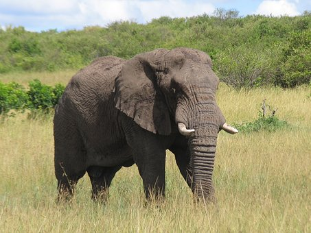 Kenya, Maasai-mara, Elephant