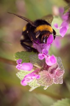 Hummel, Insect, Flowers, Nettles, Purple, Nature