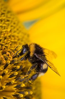 Hummel, Insect, Blossom, Bloom, Sun Flower, Nature