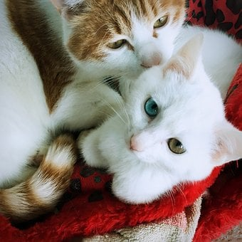 Iso-pupil, Cat, Animal