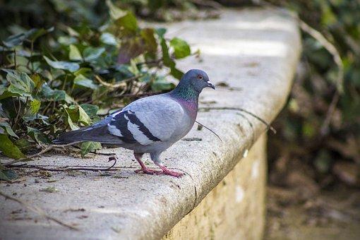 Paloma, Park, Bird, Feathers, Wings, Peak, Vine, Ivy