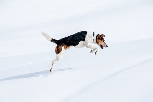 Dog, Jump, Hunt, Snow, Winter, Jack Russel, Movement