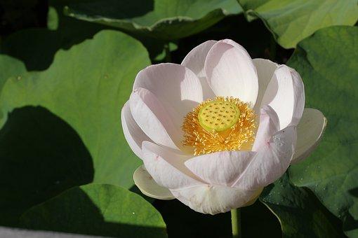Lotus, Flower, Lotusflower, Nature, Beauty, Flowers