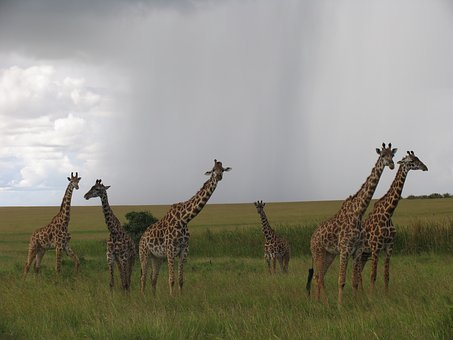 Kenya, Maasai-mara, Giraffes