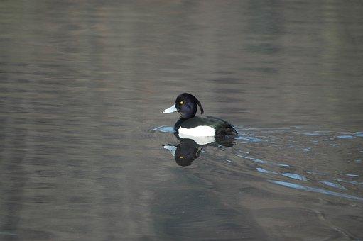 Duck, Drake, Male, Row Pension, Aythya Fuligula, Males