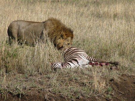 Predator, Lion, Zebra, Chilly, Masai Mara National Park