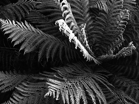 Ferns, Fern, Silver, Grey, Plant, Flora, Leaf, Nature