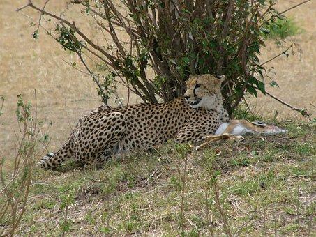 Cheetah, Kenya, Masai Mara National Park, Predator