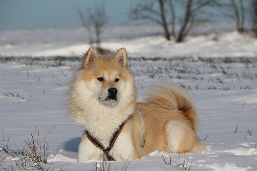 Dog, Eurasians, Animal, Pet, Snow, Winter, Fur
