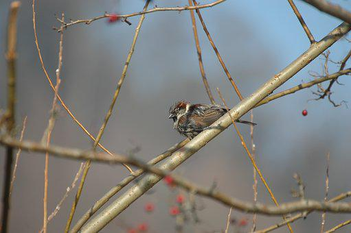Sparrow, Sperling, House Sparrow, Songbird, Bird