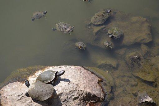 Turtle, Turtles, Water, Stone, Pond, Reptile, Animal