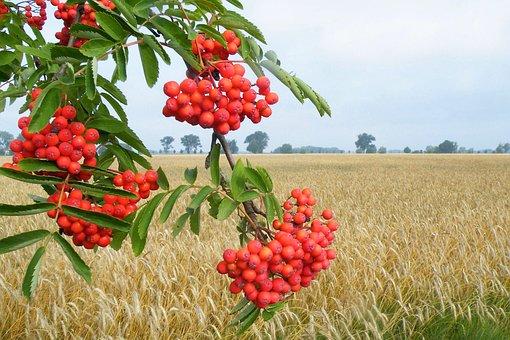 Landscape, Wheat Field, Berries, Orange, Mountain Ash