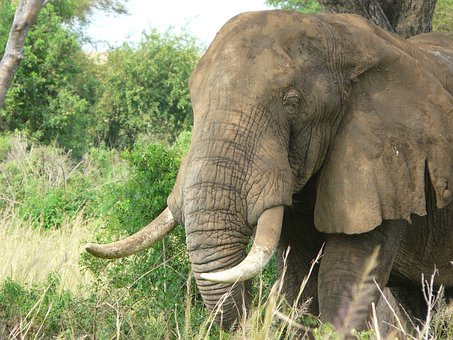 Elephant, African, Savanna, Safari, Wildlife