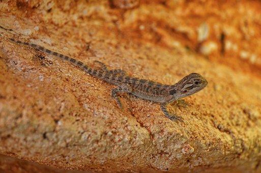 Bearded Dragon, Young Animal, Pogona