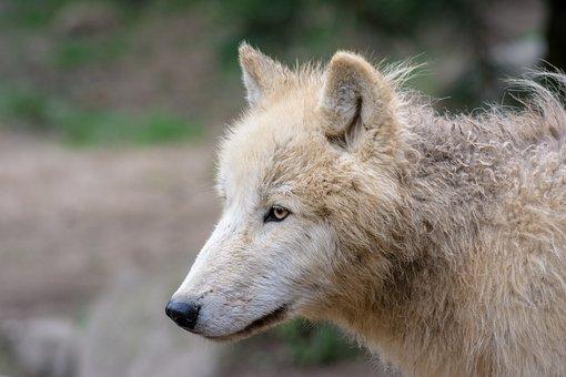 Wolf, Animal, Predator, Wolves, Nature, Wildlife Park