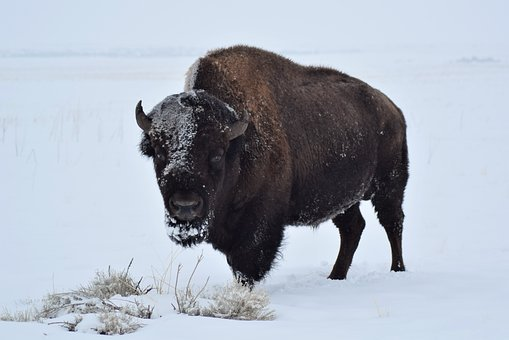 Bison, Buffalo, Winter, Mammal, Wildlife, American