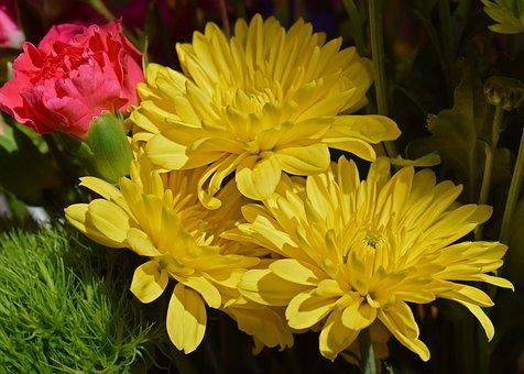 Yellow Chrysanthemums, Carnation, Blossom, Bloom