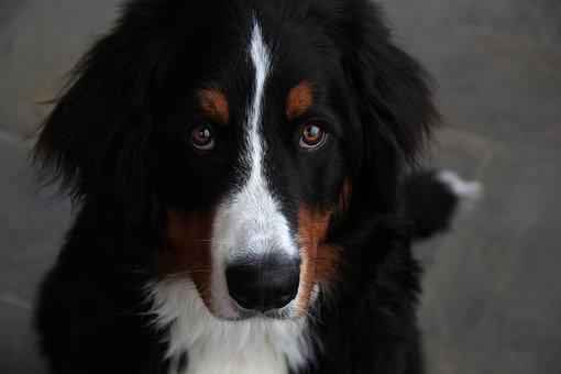 Dog, Bouvier, Mountain, Pet, Bernese, Mammal, Domestic