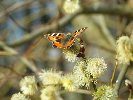 Willow, Cats, Spring, Flower, Butterfly, Bush, Fly