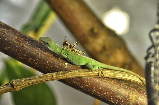 Anolis Carolinensis, Carolina Anole, Reptile