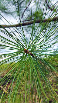 Conifer, Needles, Pine, Tree, Nature, Branch, Macro