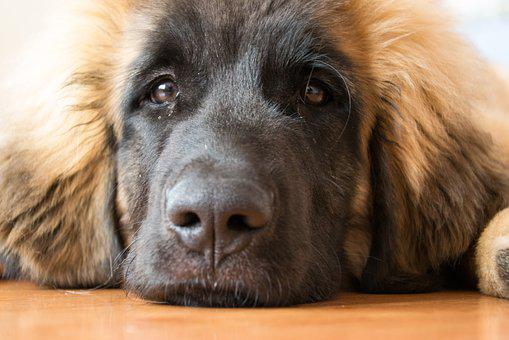 Dog, Puppy, Leonberger, Animal, Cute, View, Mammal, Pet