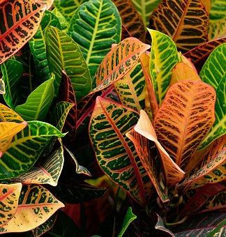 Croton Plant, Vibrant, Garden, Outdoors, Background