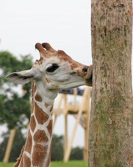 Giraffe, Kiss, Giraffe And Tree Trunk, Safari