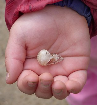 Skull, Bird, Skull Bird, Child Hand, Girl, Discover