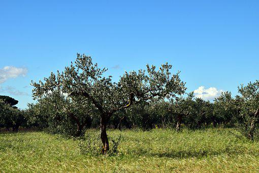 Olive Trees, Tree, Nature, Old Tree, Gnarled