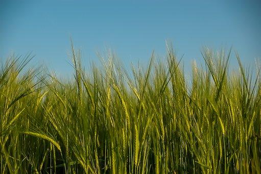 Cereals, Wheat, Spike, Field, Grain, Wheat Field