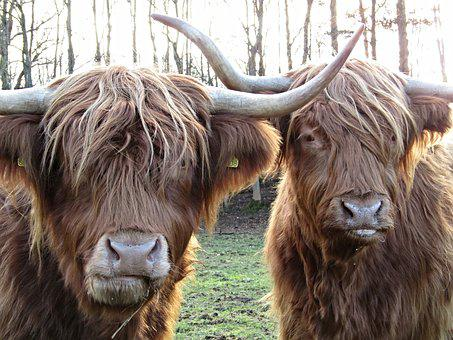 Highland Cow, Coo, Scotland, Hairy, Scottish, Cattle