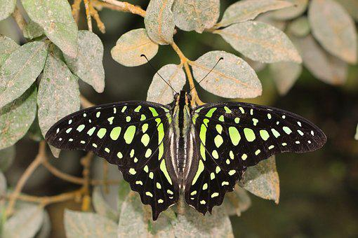 Butterfly, Lepidoptera, Insect, Tropical