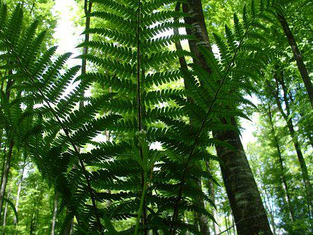 Fern, Forest, Forest Plant, Nature, Plant, Green