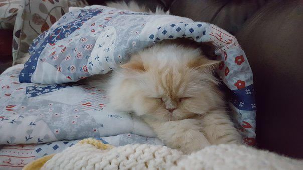 Persian, Cat, Courtenay, Nold, Nap, Sleep, Sleeping