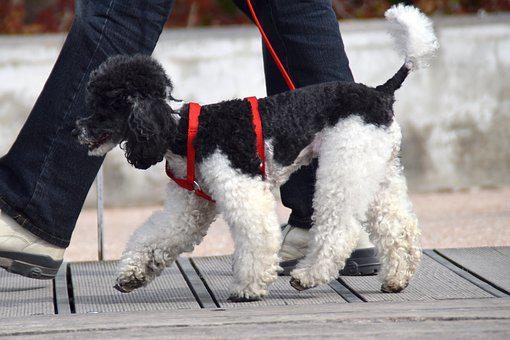 Dog, Poodle, Sweet, Cute, Animal, White, Black, Friends