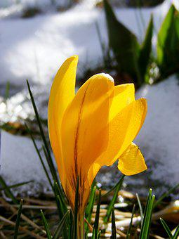 Crocus, Yellow, Bloom, Spring, Flower, Blossom, Bloom
