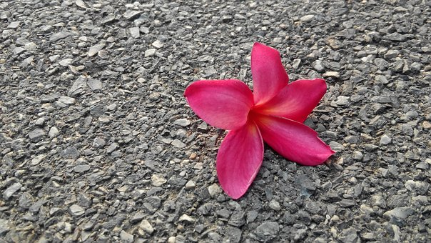 Flowers, Frangipani, Nature, Blooms, Plant, Ground