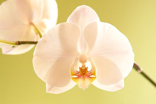 Orchid, Blossom, Bloom, White, Flower, Plant