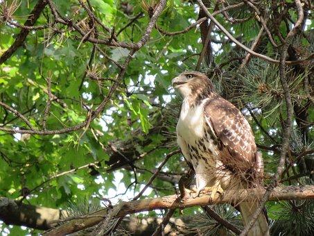 Bird, Hawk, Broad Winged Hawk