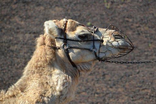 Camel, Desert, Sand, Caravan, Sahara, Sun, Wüstentour