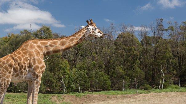 Giraffe, Werribee Zoo, Canon 5d Mark Iii, Melbourne